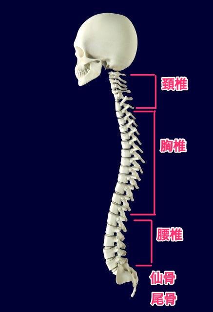 背骨のつくり