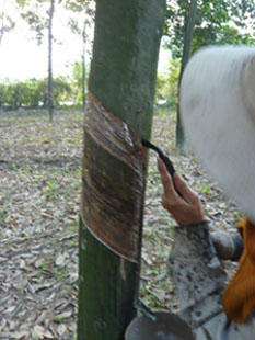 ゴムの木の皮むきの様子