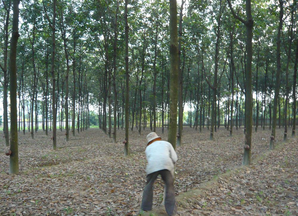 ゴムの木の根本には採集用の器が